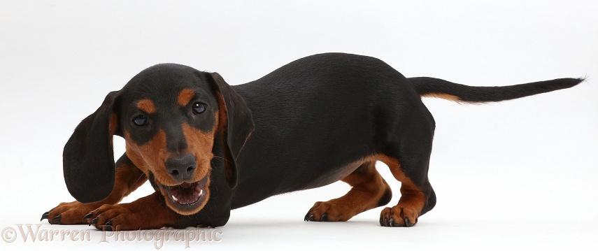Playful black-and-tan Dachshund pup, white background