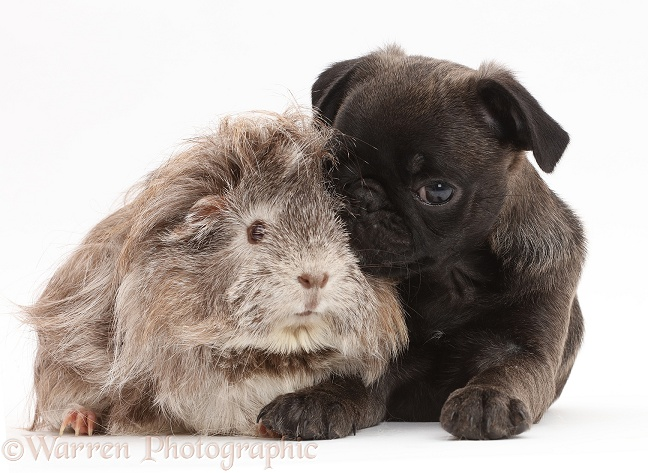 Platinum Pug puppy and Guinea pig, white background