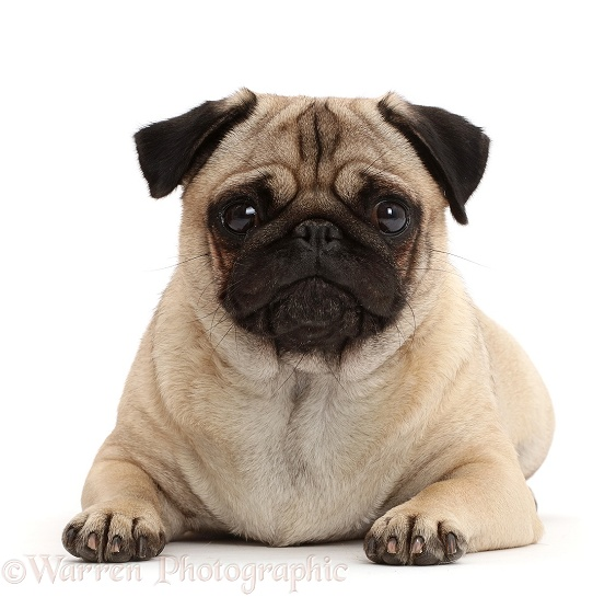Portly Pug lying with head up, white background