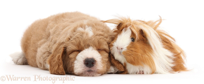 Sleepy Goldendoodle puppy and Guinea pig, white background
