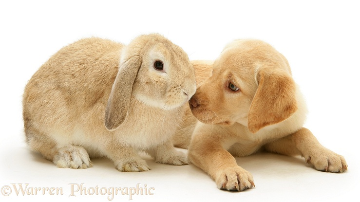 Yellow Retriever pup, Millie, and Sandy Lop rabbit, white background