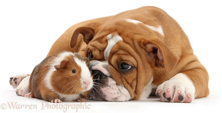 Bulldog pup, 11 weeks old, and Guinea pig, Amelia, white background