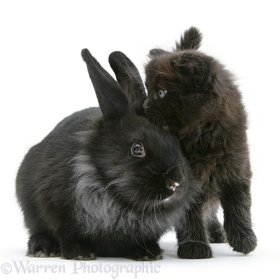 Black kitten with black Lionhead-cross rabbit, white background