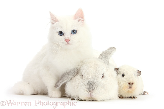 White Maine Coon-cross kitten with white rabbit and white Guinea pig, white background
