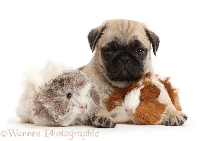 Pug pup and Guinea pigs, white background