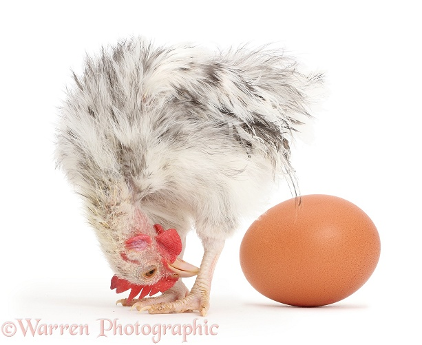 Silkie Serama Chicken looking back at egg, white background