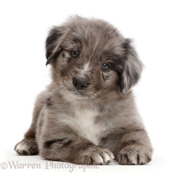 Mini American Shepherd puppy lying with head up, white background