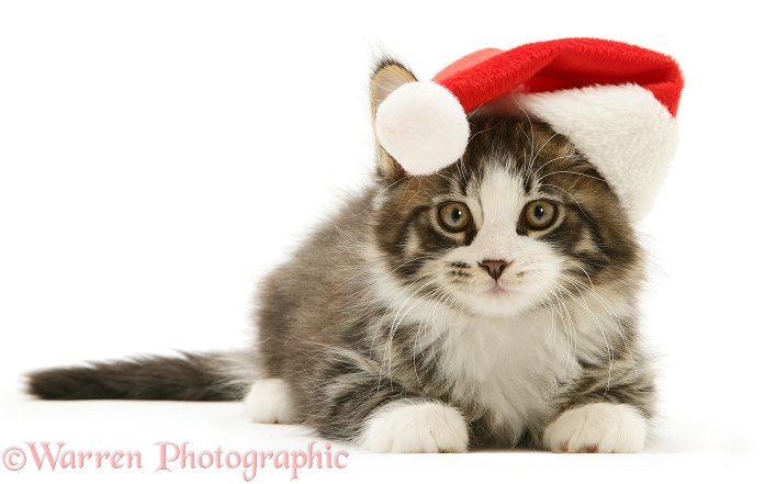Maine Coon kitten, 8 weeks old, wearing a Santa hat, white background