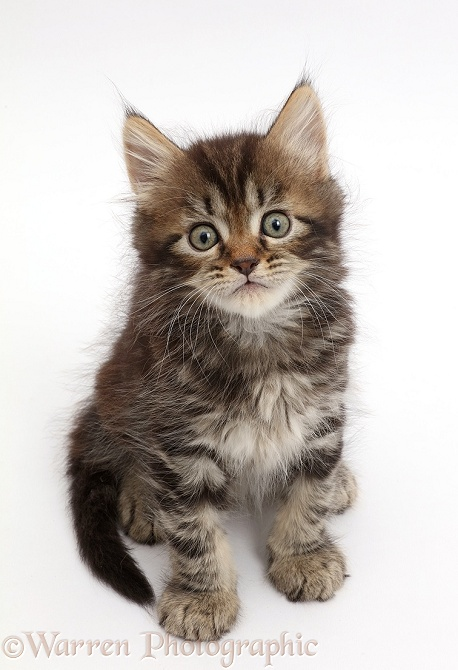 Tabby Persian-cross kitten, 7 weeks old, sitting and looking up, white background