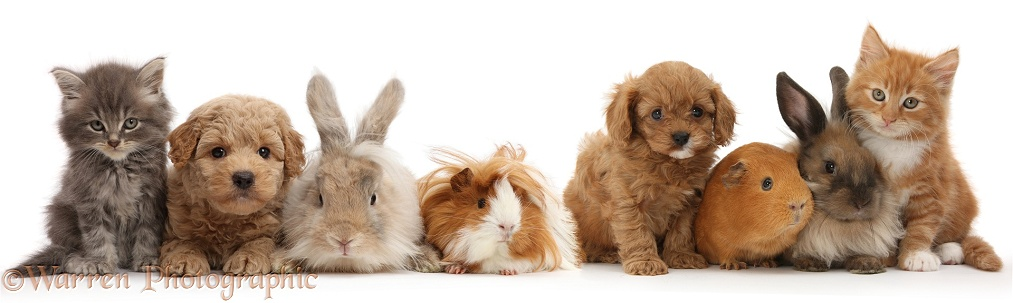 Grey kitten, Ginger kitten, Goldendoodle puppy, Cavapoo pup, with bunnies and Guinea pigs, white background