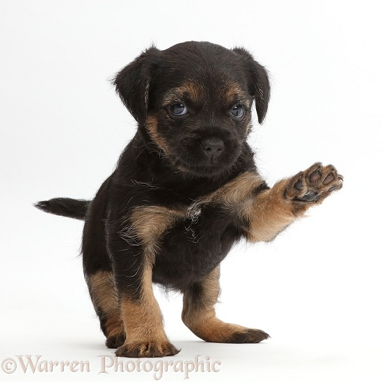 Border Terrier puppy, 5 weeks old, with raised paw, white background
