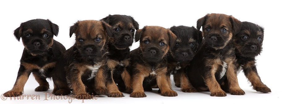 Seven Border Terrier puppies, 5 weeks old, white background