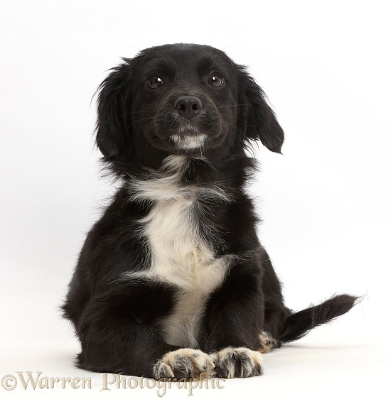 Black-and-white rescue dog puppy, white background