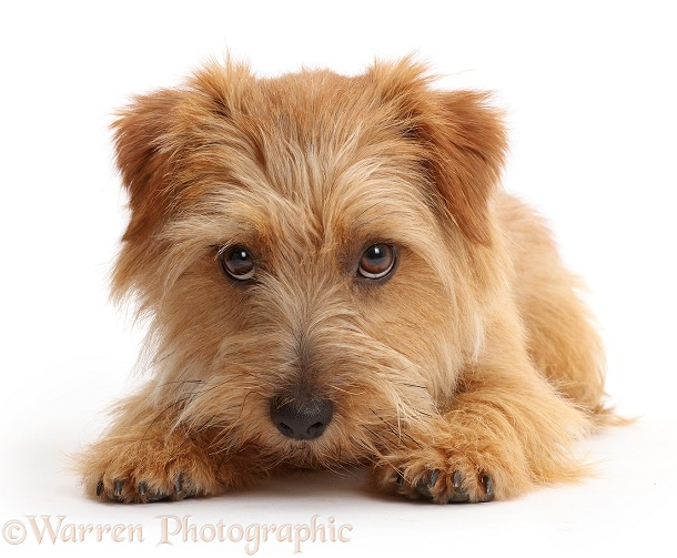 Norfolk Terrier dog, Otto, 1 year old, white background