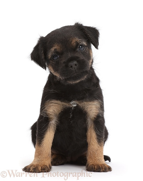 Border Terrier puppy, 5 weeks old, white background