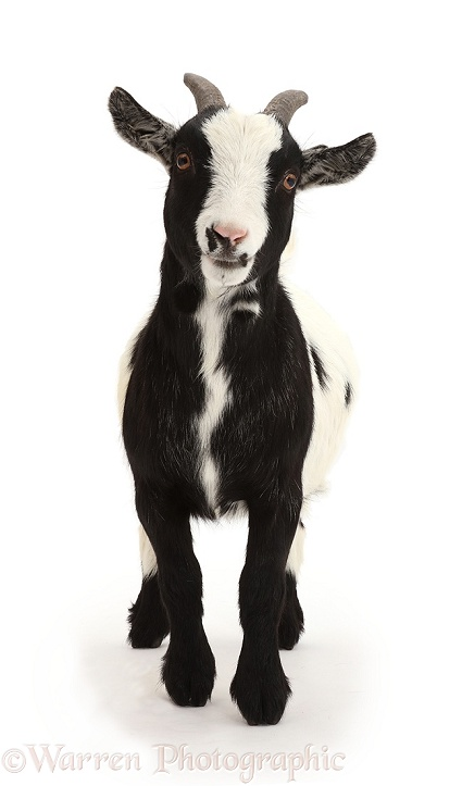 Pygmy goat standing, white background