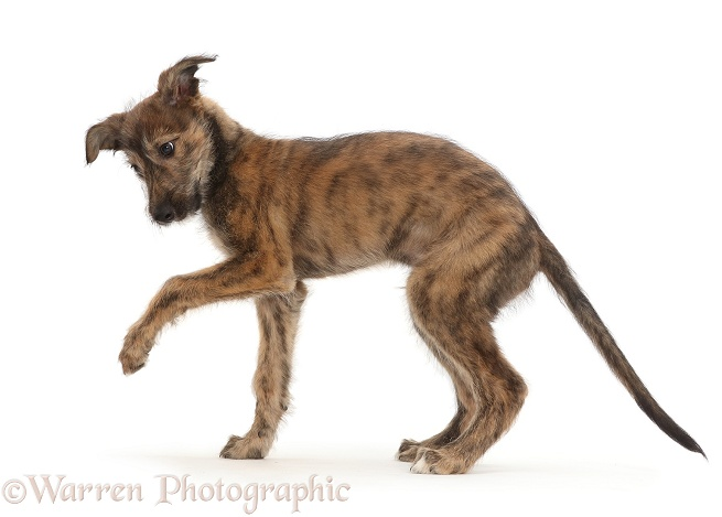 Brindle Lurcher dog puppy with raised paw, white background