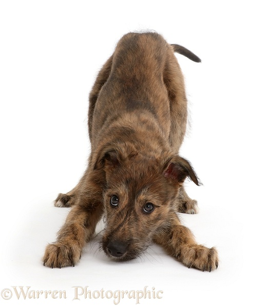 Brindle Lurcher dog puppy in play-bow, white background
