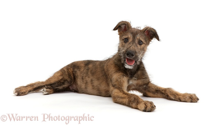 Brindle Lurcher dog puppy lying, white background