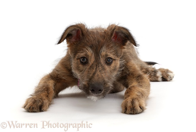 Brindle Lurcher dog puppy lying head up, white background