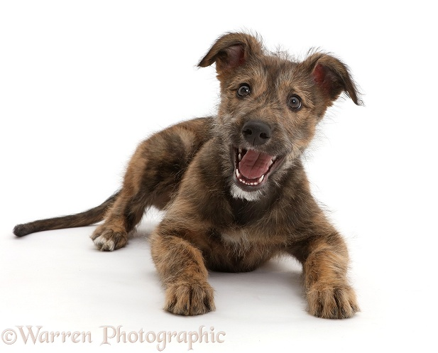 Brindle Lurcher dog puppy lying head up, mouth open, white background
