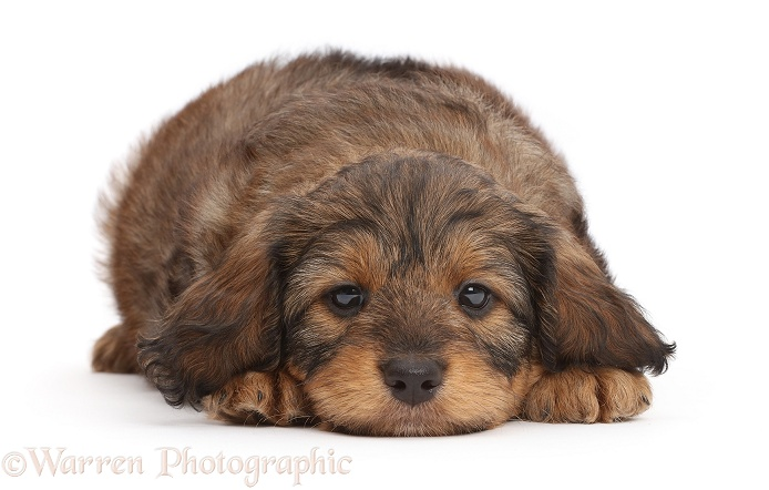 F1b Toy Goldendoodle puppy lying with chin on floor, white background