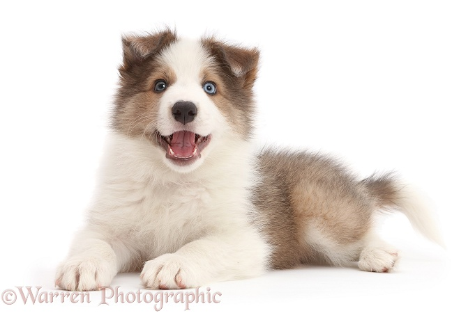 Happy Sable-and-white Border Collie puppy, 8 weeks old, white background