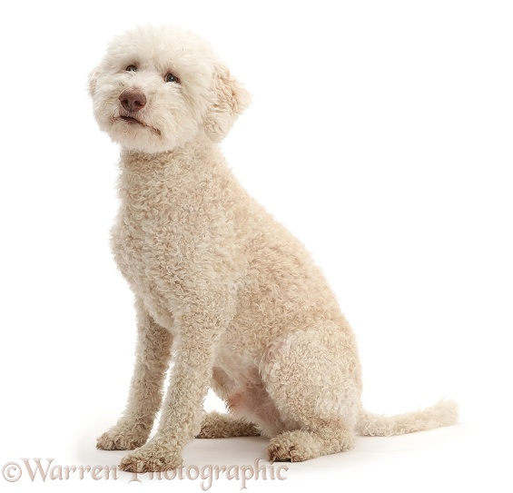 Lagotto Romagnolo dog sitting, white background