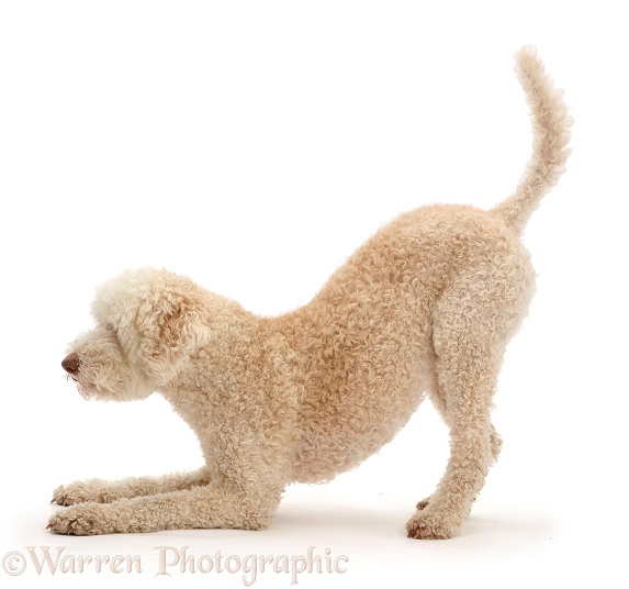 Lagotto Romagnolo dog in play-bow, white background