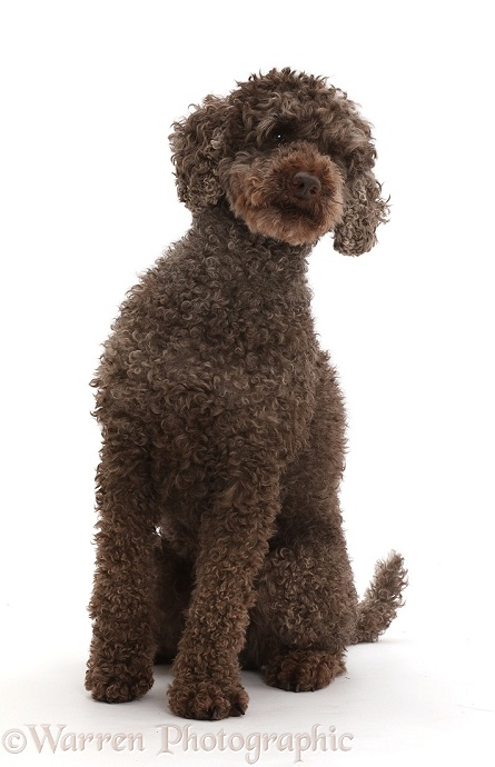 Poodle sitting, white background