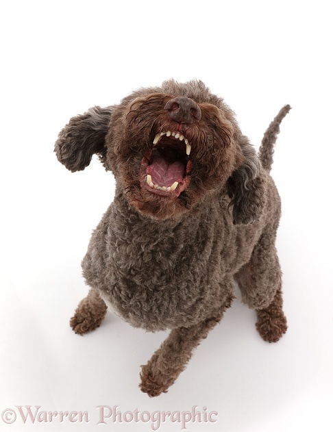 Lagotto Romagnolo dog sitting and barking, white background