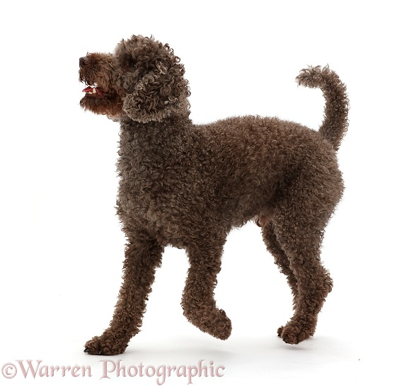 Poodle walking, white background