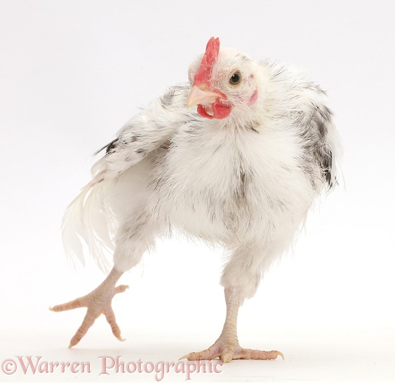 Silkie Serama Chicken standing on one leg and stretching, white background