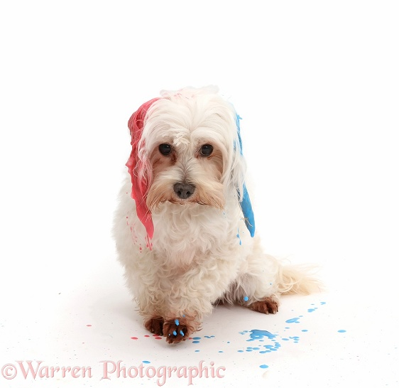 Dog with painted ears, ready to shake and spray, white background