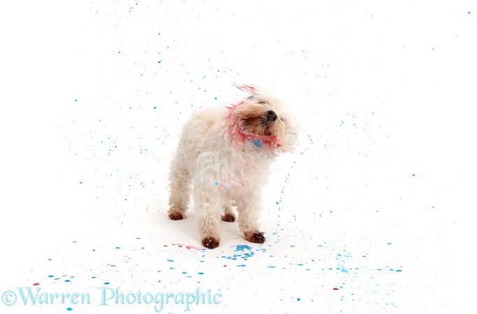 Dog shaking and spraying paint, white background