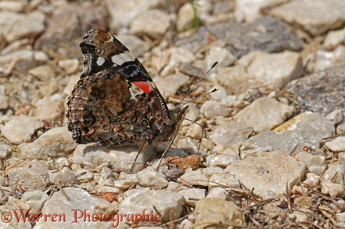 Red Admiral Butterfly (Vanessa atalanta) drinking from a moist stream bed