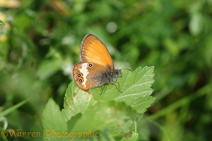 Pearly Heath Butterfly (Coenonympha arcania)
