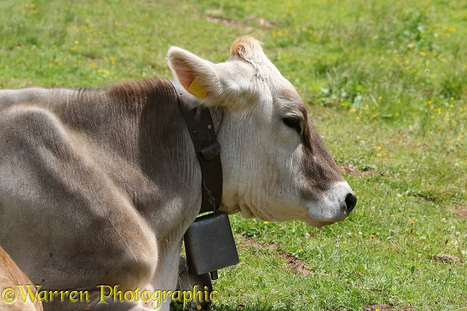 Cow with cowbell, Dolomites
