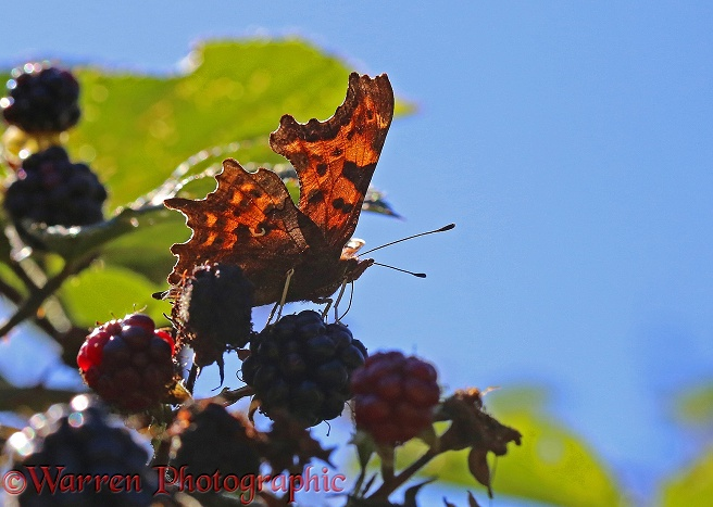 Comma Butterfly (Polygonia c-album) on blackberries