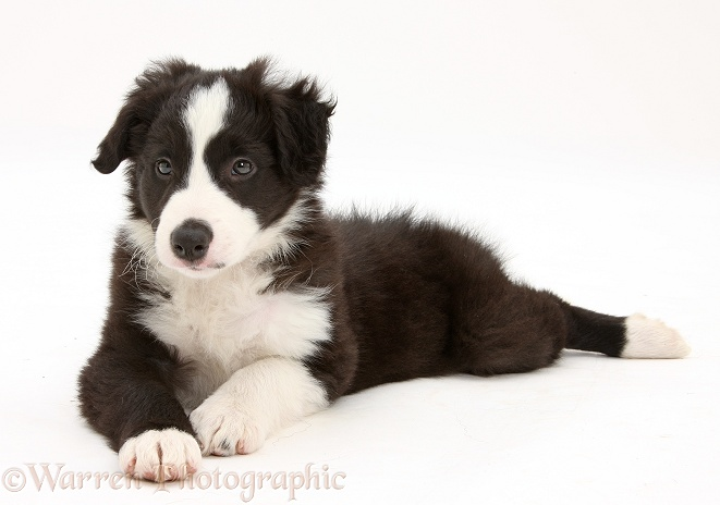 Black-and-white Border Collie pup, Gus, lying spread out with head up, white background