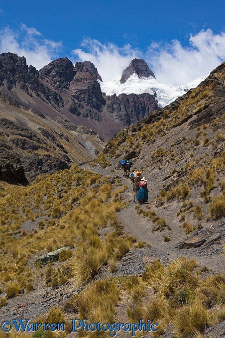 Bolivian woman leading donkeys up a high mountain path