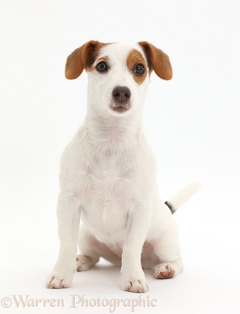 Jack Russell Terrier puppy sitting, white background