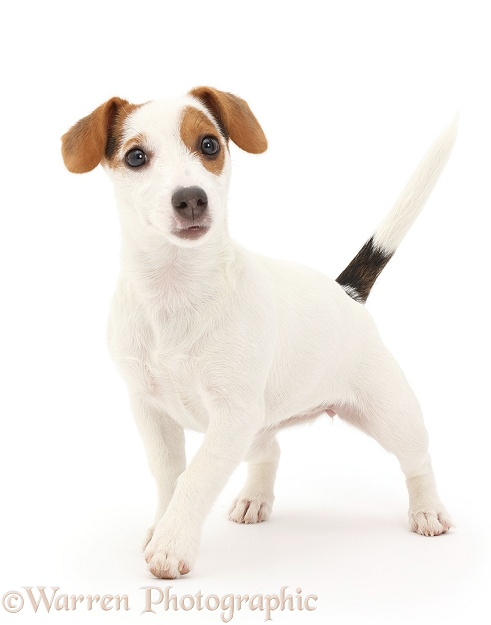 Jack Russell Terrier puppy walking, white background