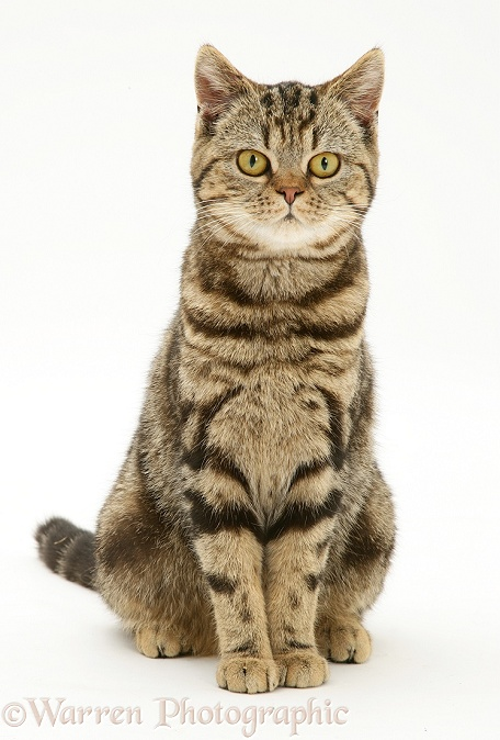 British Shorthair Brown Spotted cat, Tiger Lily, sitting, white background