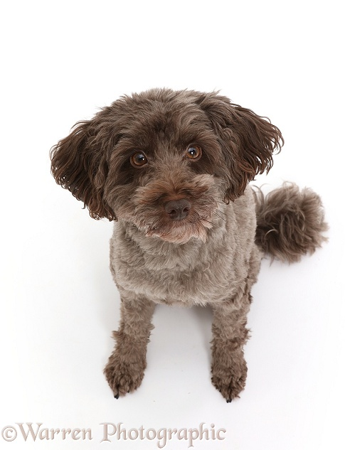 Schnoodle dog sitting looking up, white background