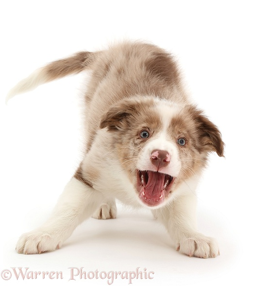 Playful Red merle Border Collie puppy barking for attention, white background