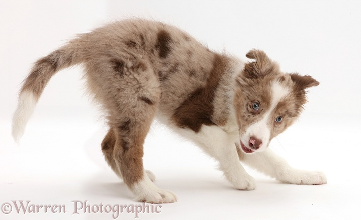 Playful Red merle Border Collie puppy, white background