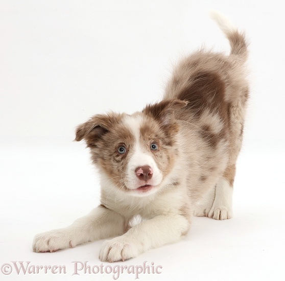 Playful Red merle Border Collie puppy in play-bow, white background