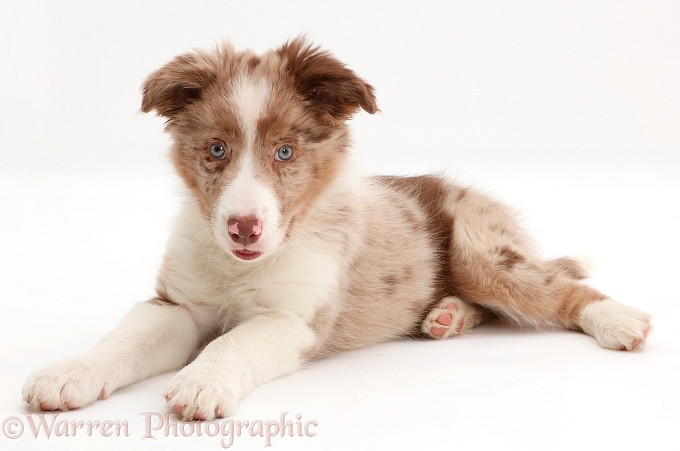 Red merle Border Collie puppy, white background