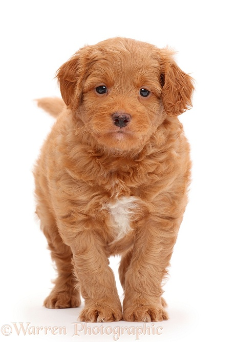 F1b Toy Goldendoodle puppy, white background